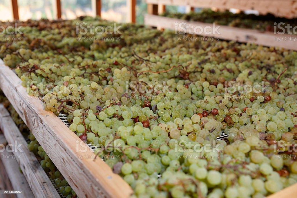 Drying grapes for making Vino Santo, Italian dessert wine stock photo