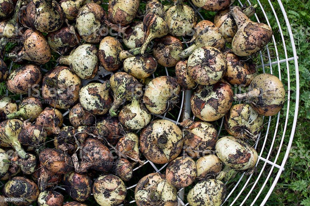 Drying Onion Bulbs stock photo