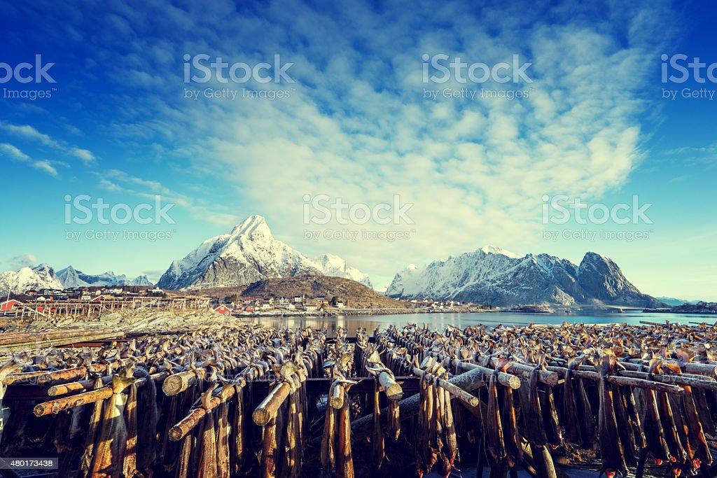 drying stock fish in Norway, Lofoten islands stock photo