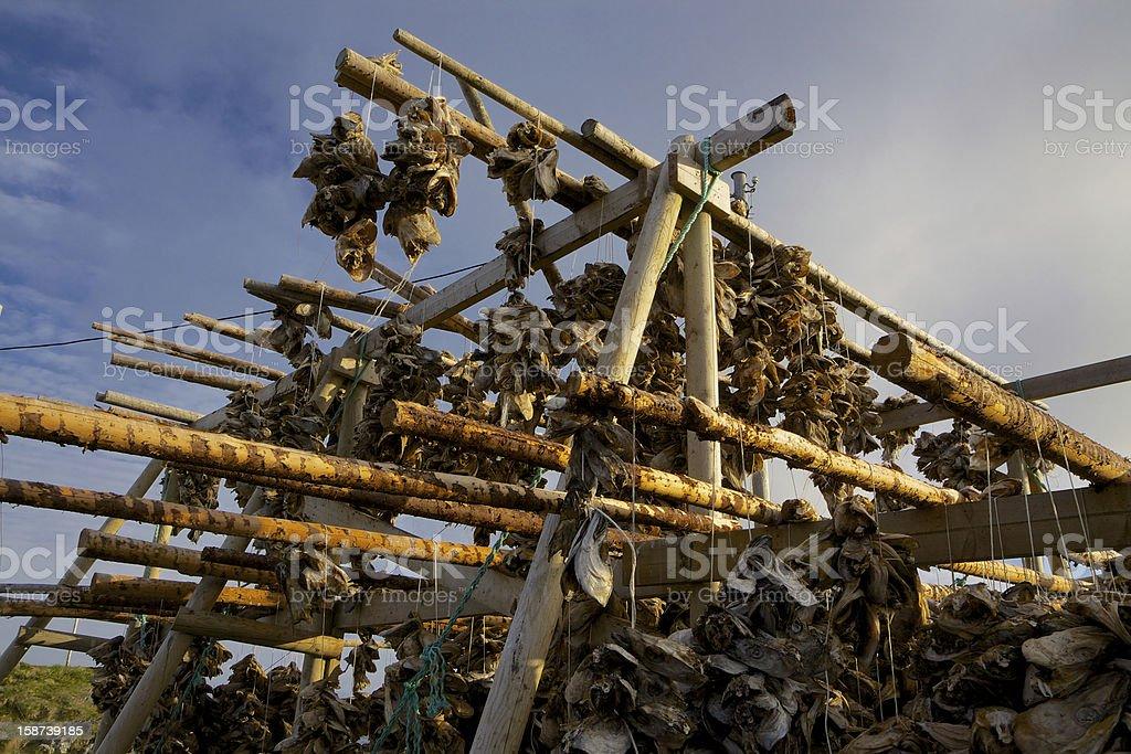 Drying stockfish royalty-free stock photo