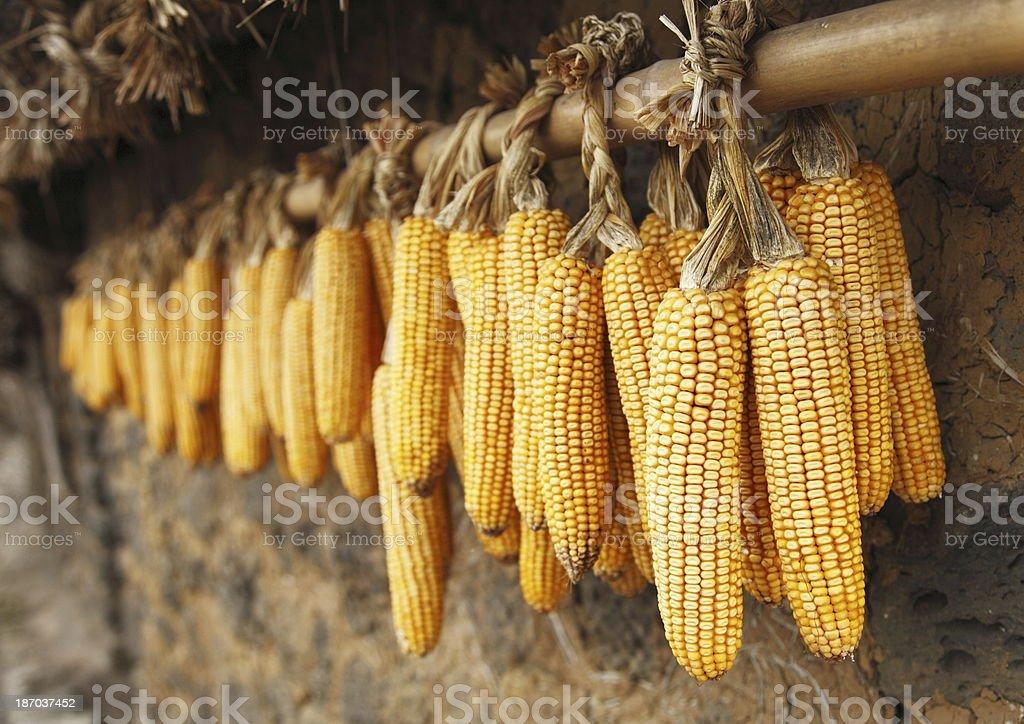 Drying Sweet Corn stock photo
