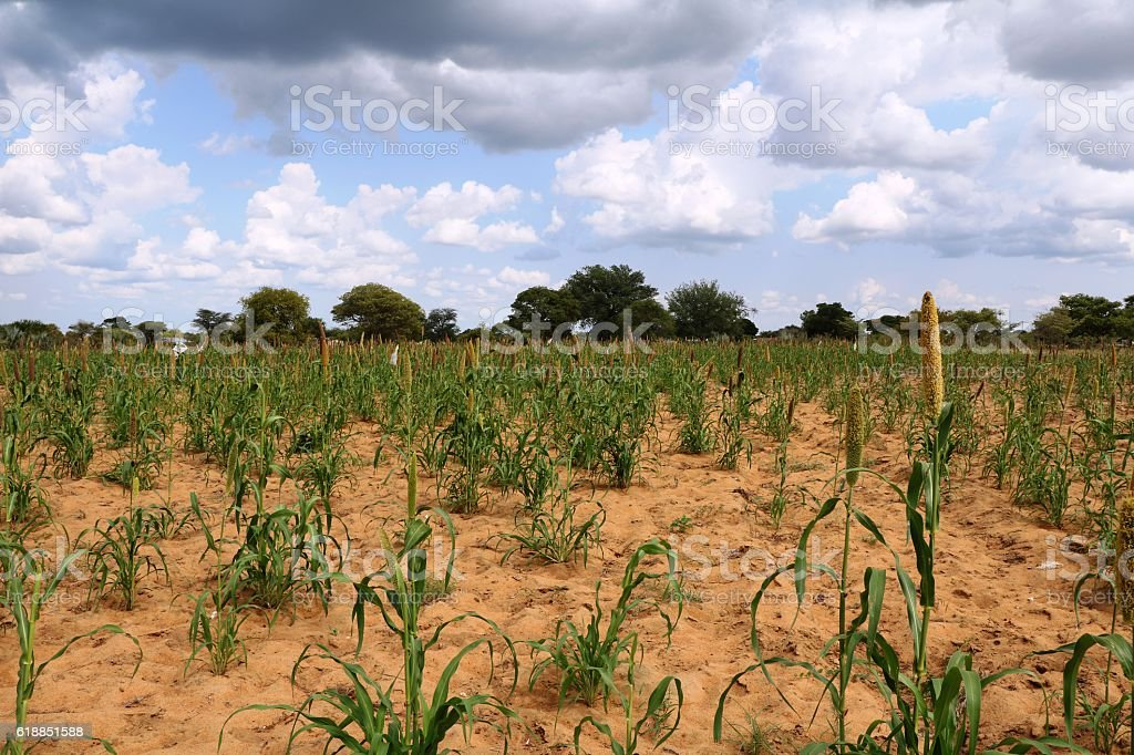 Dryness on a Mahango field in Namibia Africa stock photo