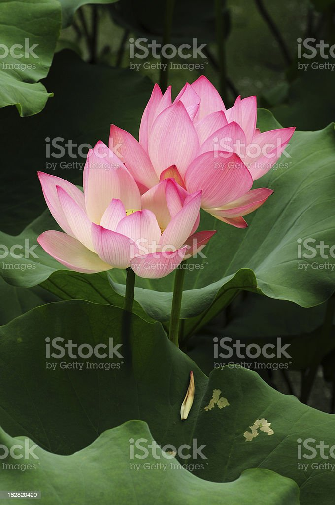 Dual Lotus flowers royalty-free stock photo