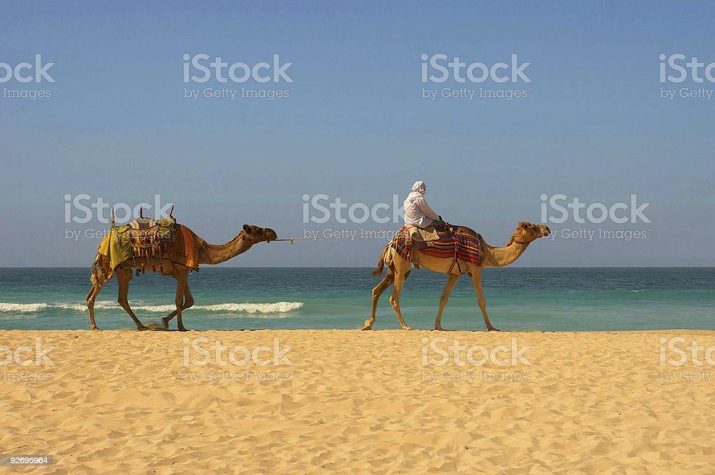 Dubai beach and camels royalty-free stock photo
