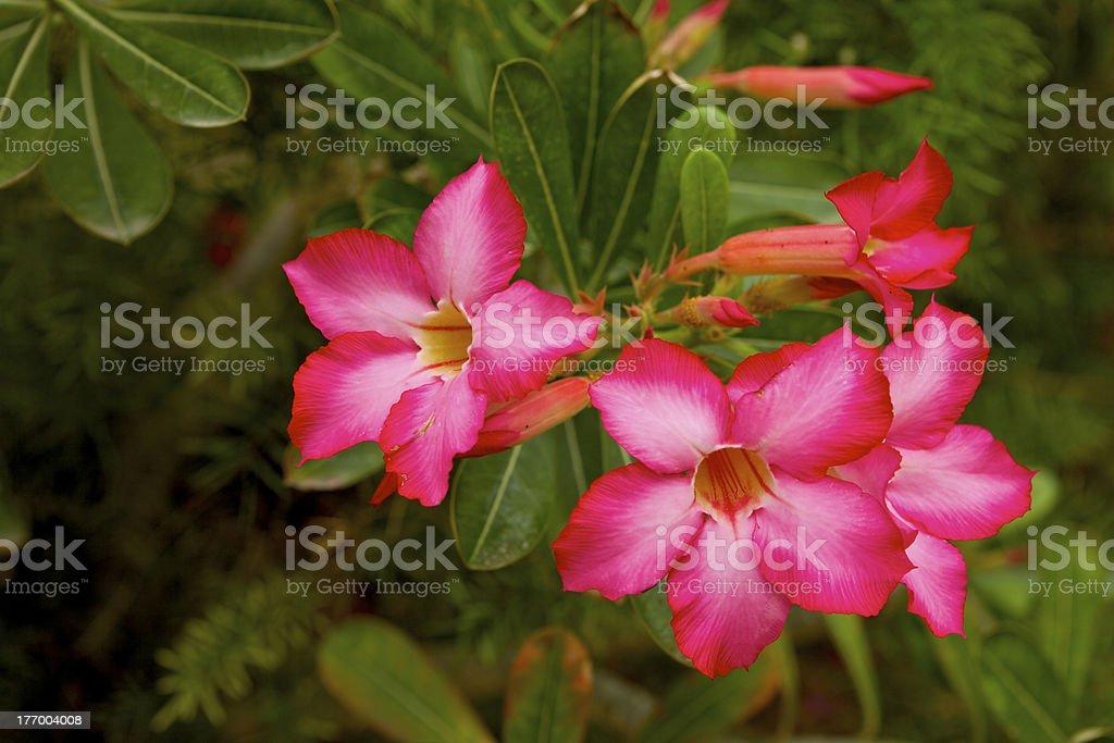 Dubai, UAE - Desert Rose or Adenium Obesum stock photo