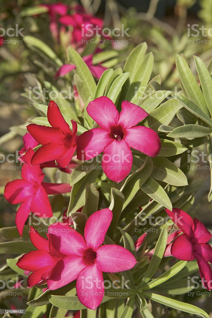 Dubai, UAE - Desert Rose stock photo