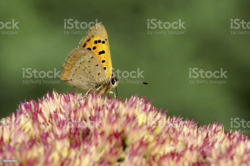 Ducat butterfly on stonecrop 2 stock photo