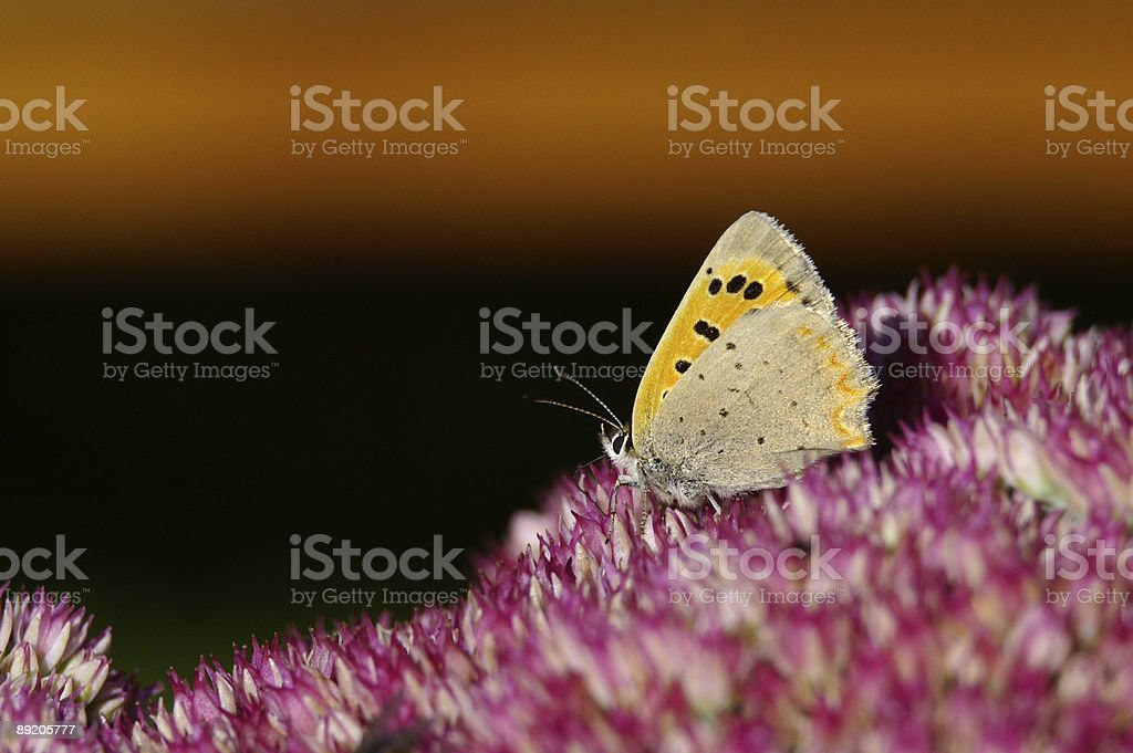 Ducat butterfly on stonecrop stock photo
