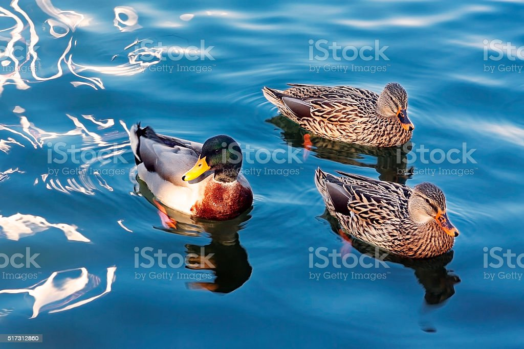 Duck, Anas platyrhynchos stock photo