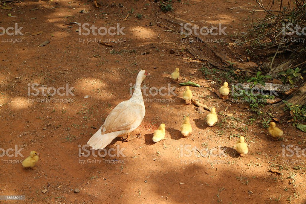 Duck and chicks stock photo