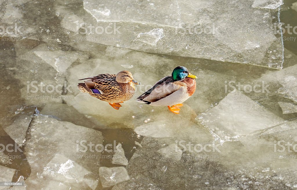 Duck and drake stock photo