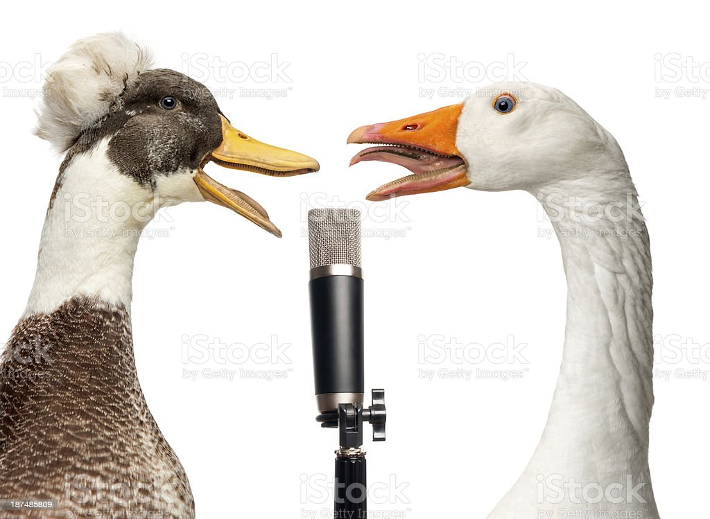 Duck and goose singing into a microphone, isolated on white stock photo