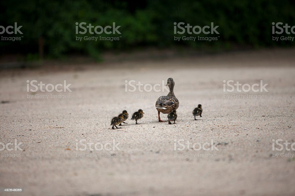 duck, animal family stock photo
