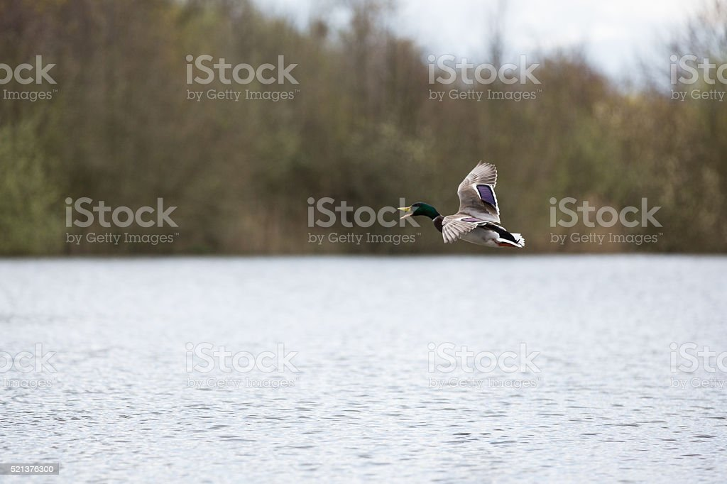 Duck  Bird stock photo