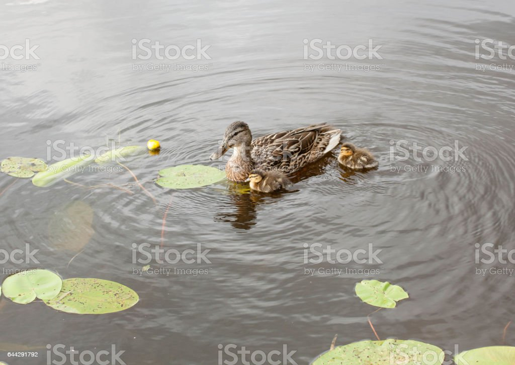 Duck breast and ducklings stock photo