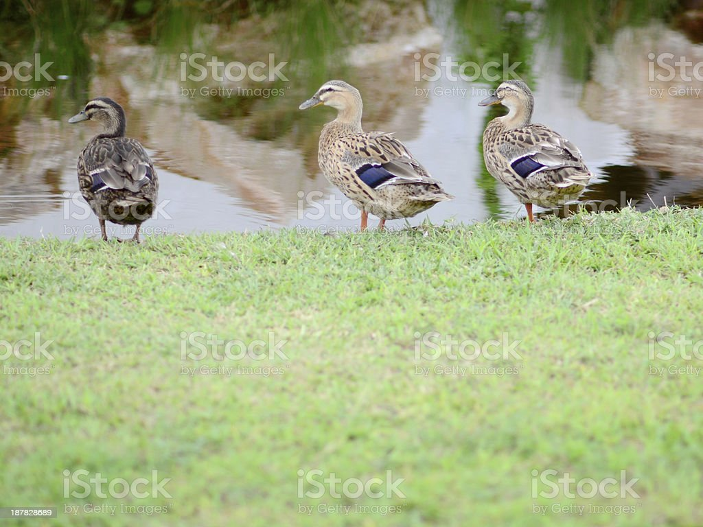 Duck by the swamp royalty-free stock photo