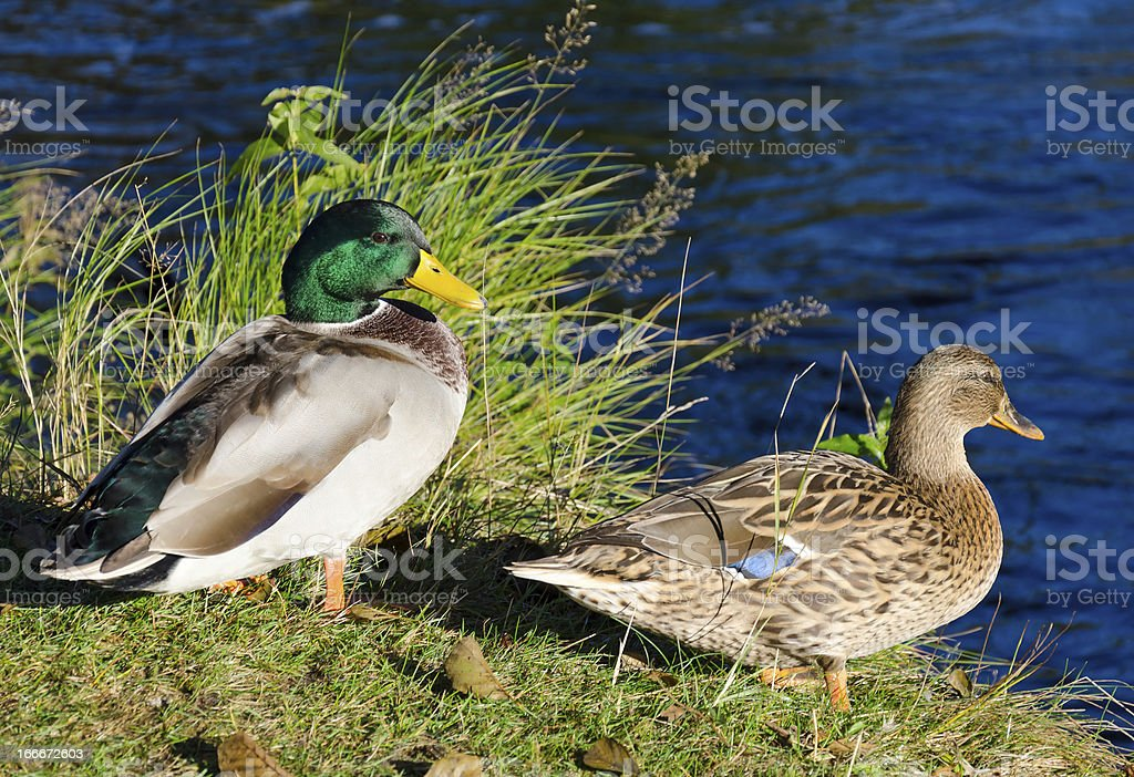 Duck couple in nature royalty-free stock photo