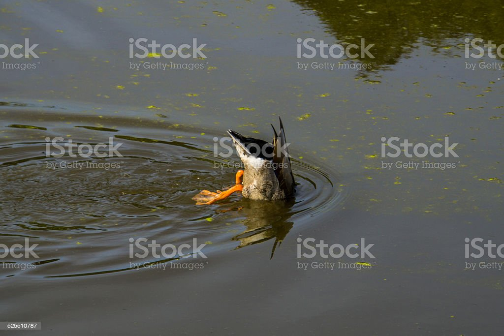 Duck Diving Into Pond On Sunny Day stock photo