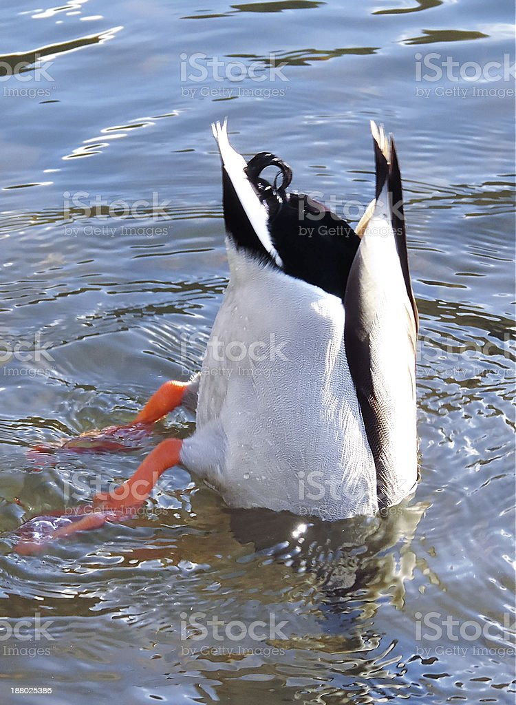 duck diving stock photo