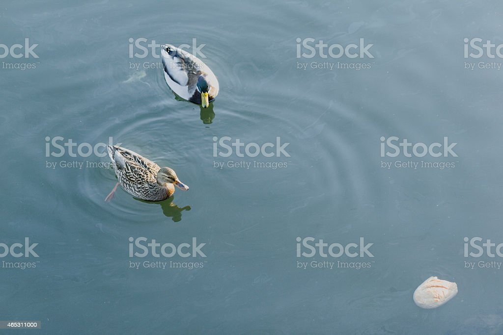 Duck, drake and bread stock photo