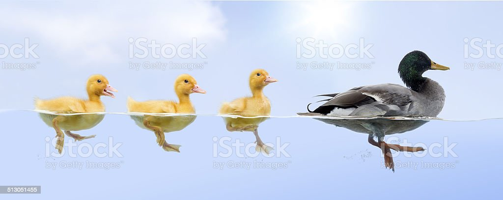 Duck family floating in a raw stock photo