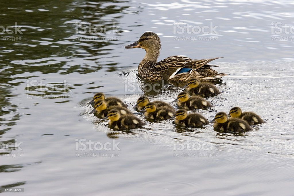 Duck Family royalty-free stock photo