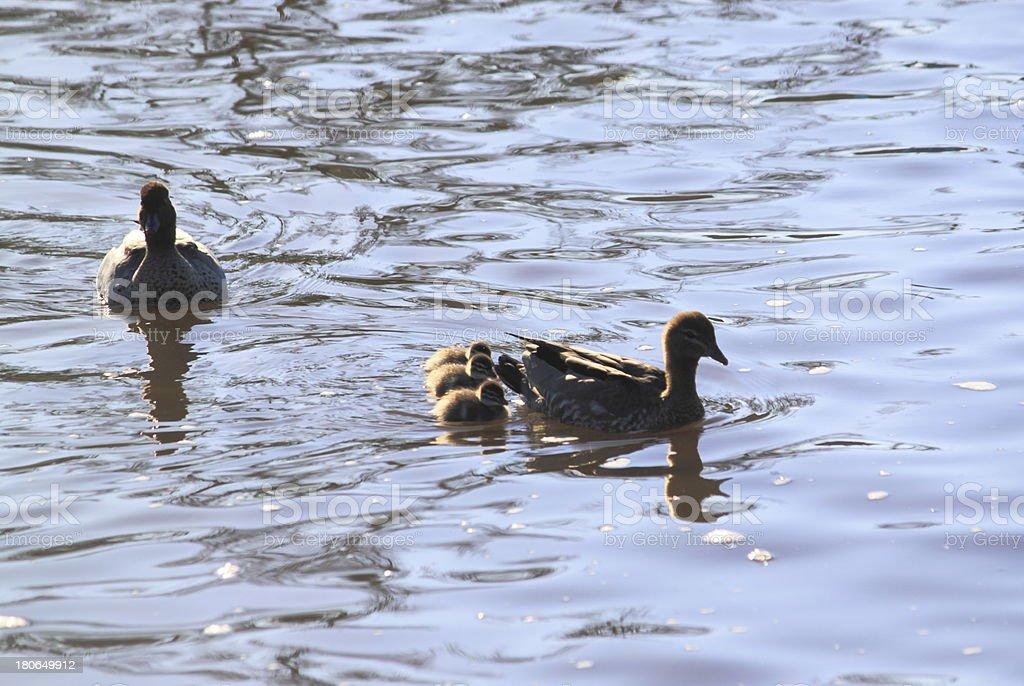Duck family stock photo