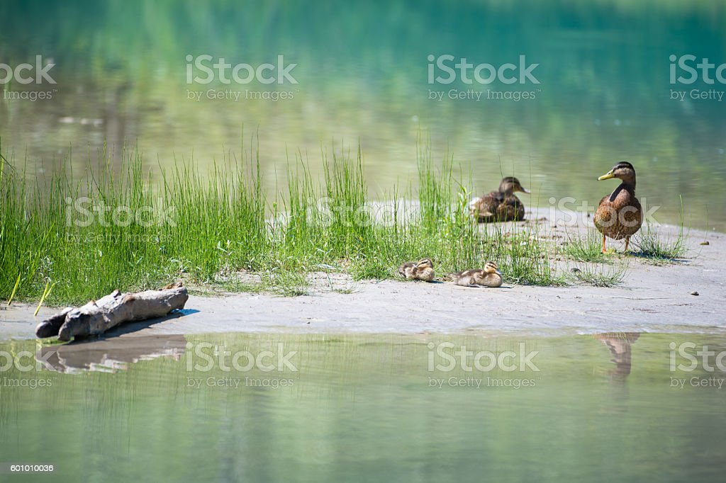 Duck family with babies at river with grass water and stock photo
