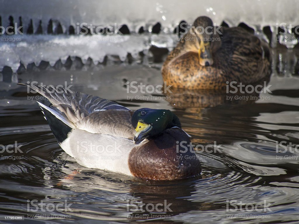 duck flaps its wings royalty-free stock photo