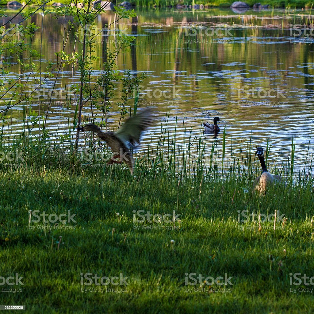 duck fleeing canada goose stock photo