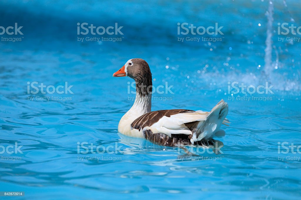 Duck floating in fresh water stock photo