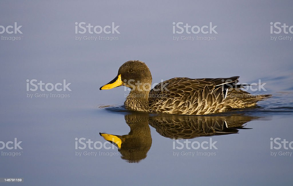 Duck Floating stock photo