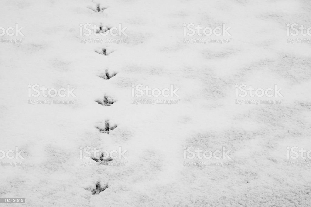 Duck footprints in the snow stock photo