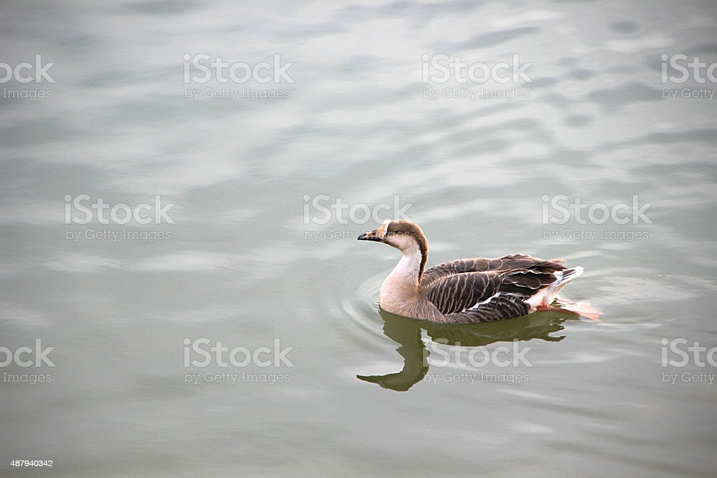 Duck Gliding on Calm Water stock photo