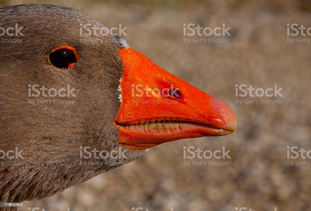 Duck Head royalty-free stock photo
