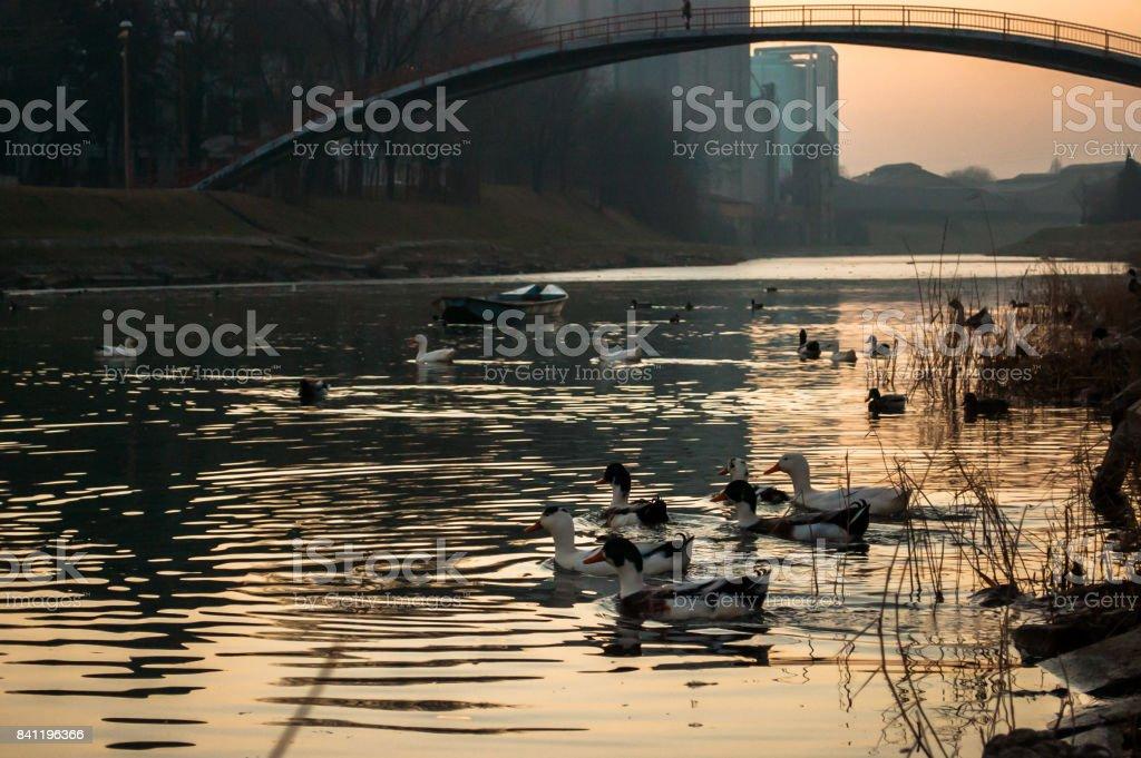 Duck Heaven stock photo