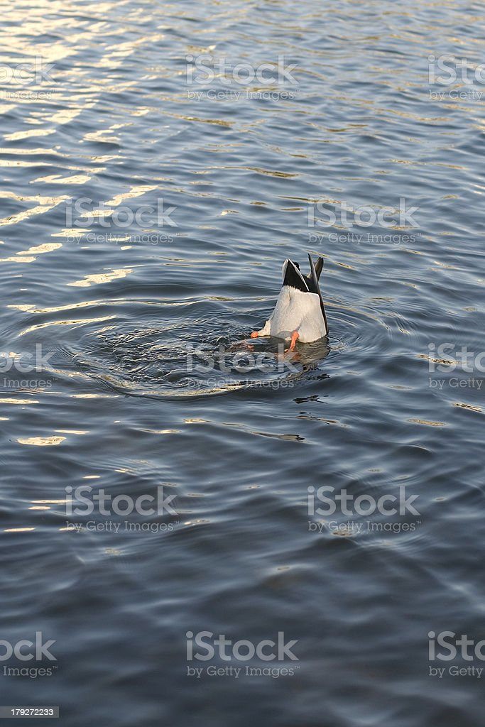 Duck Hunt 1 royalty-free stock photo