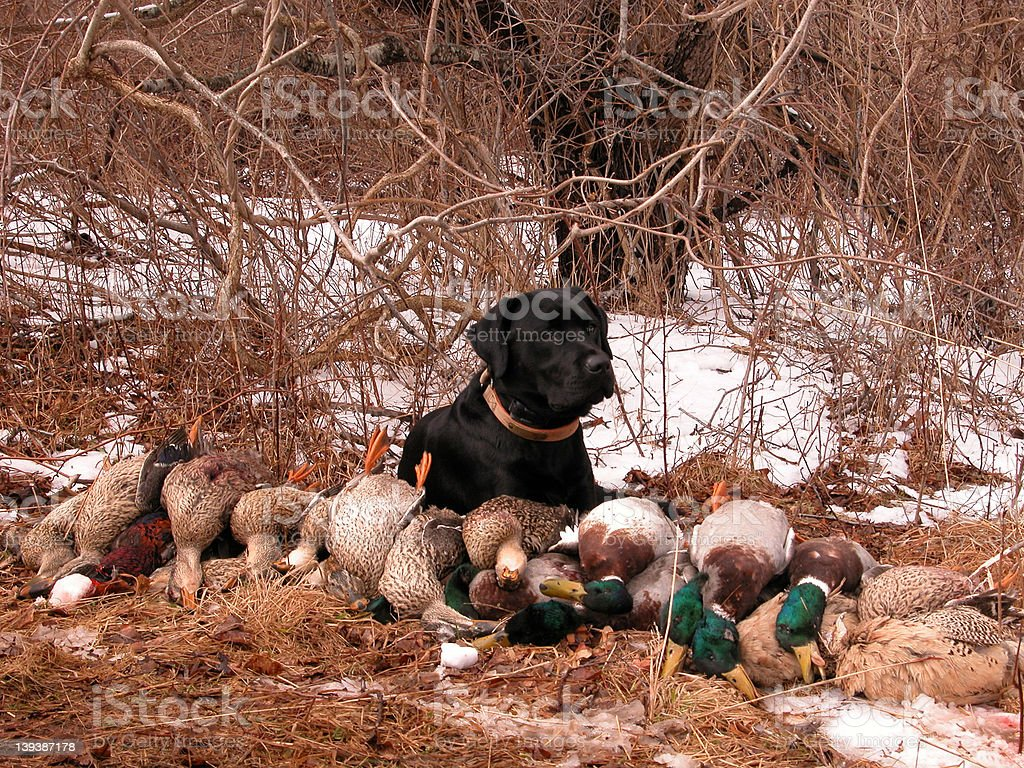Duck Hunting Dog royalty-free stock photo