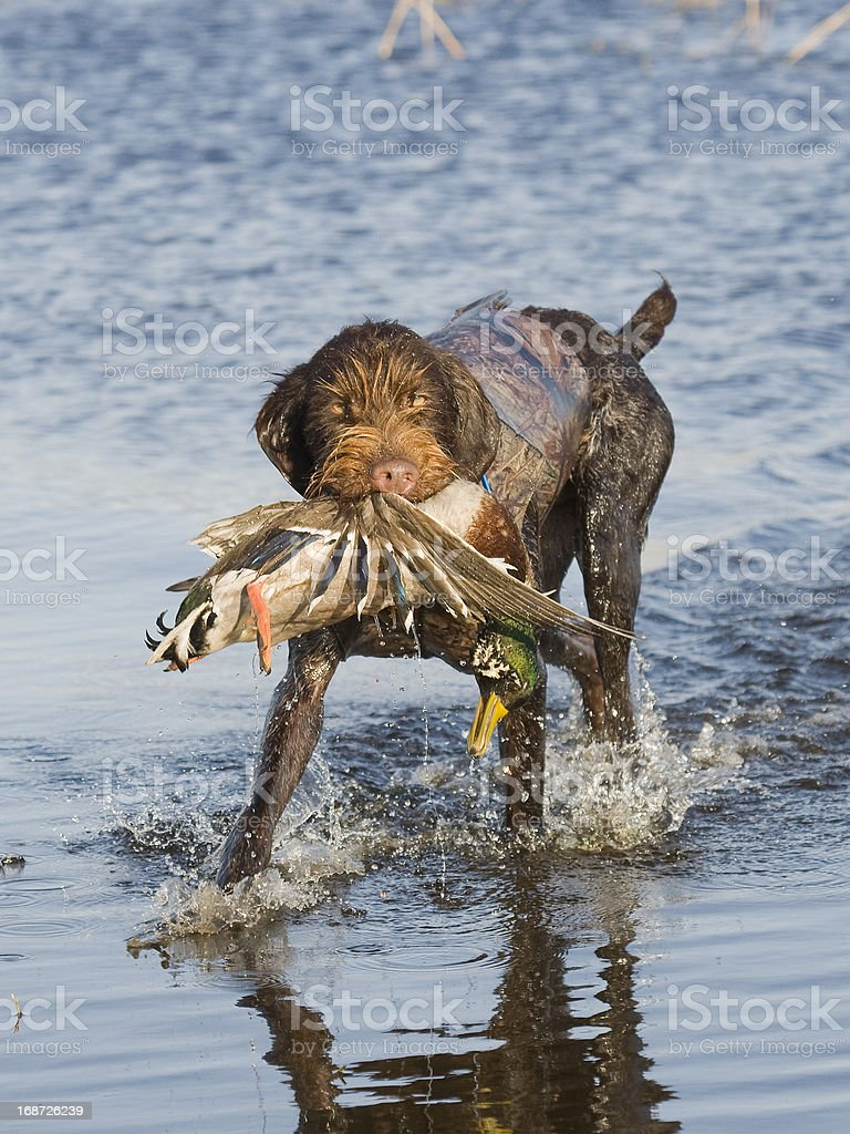 Duck Hunting royalty-free stock photo