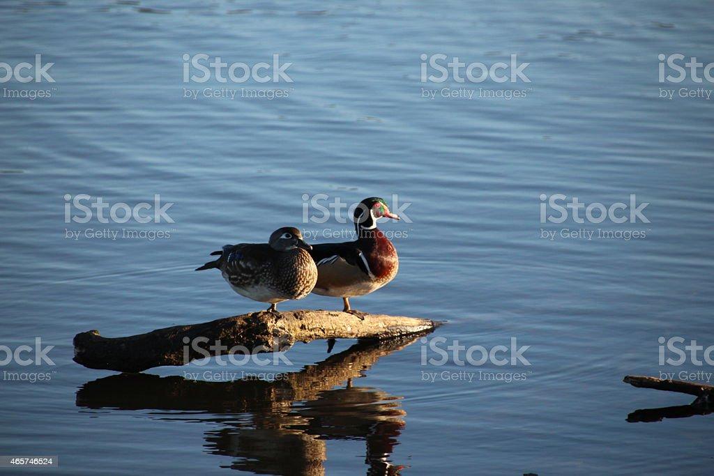 Duck Hunting Season stock photo