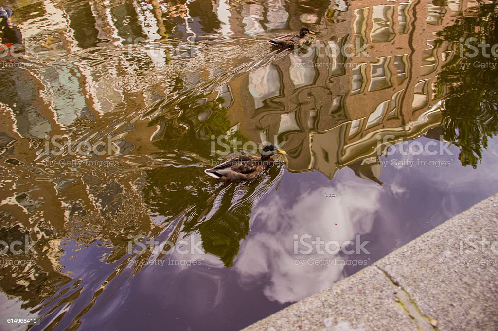 Duck in a canal royalty-free stock photo