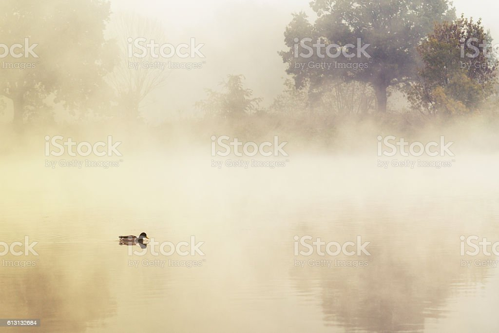 duck in a mystic morning light stock photo