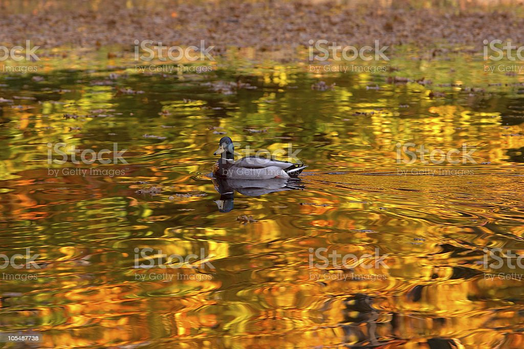 Duck in autumn colors stock photo