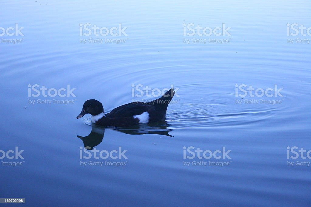Duck in Blue royalty-free stock photo