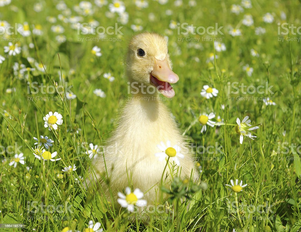duck in grass royalty-free stock photo