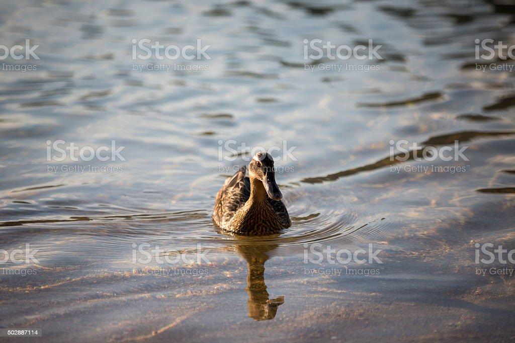 Duck in lake stock photo