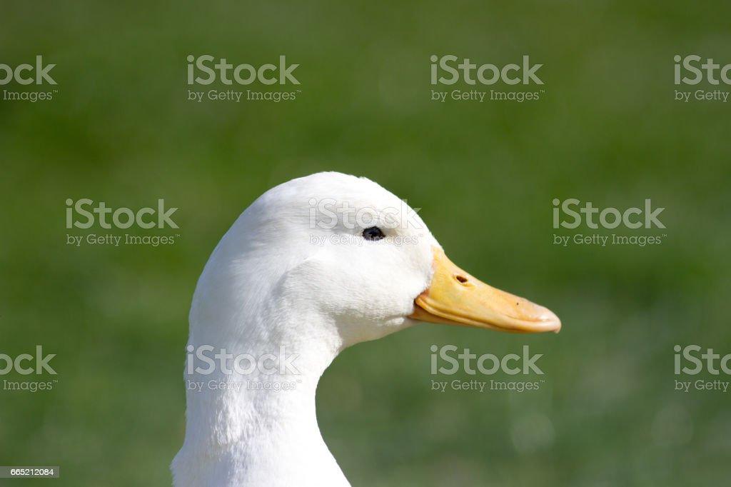 Duck in profile stock photo