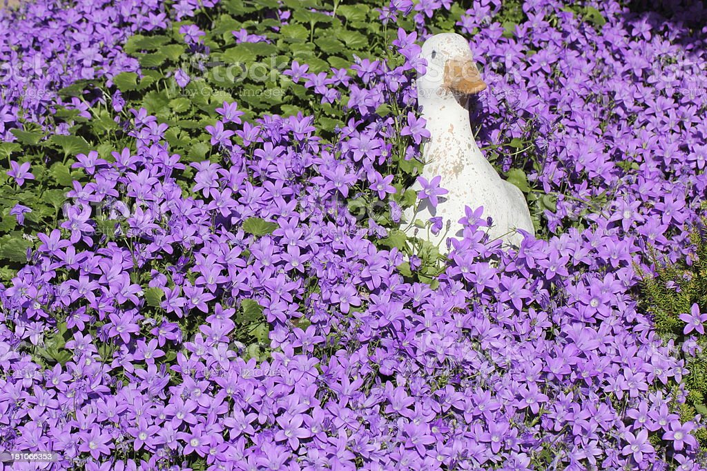 Duck in the Campanula flowers stock photo