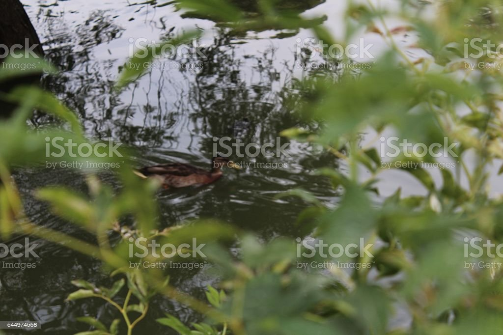 Duck in the Lake stock photo
