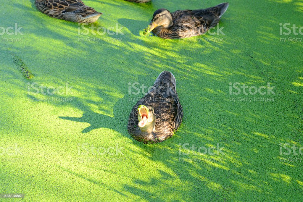 Duck in the swamp. stock photo
